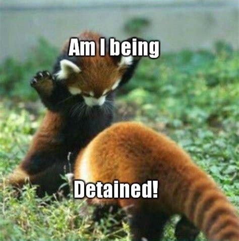 Red Panda Meme - red panda memes meme pinterests pinterest meme meme