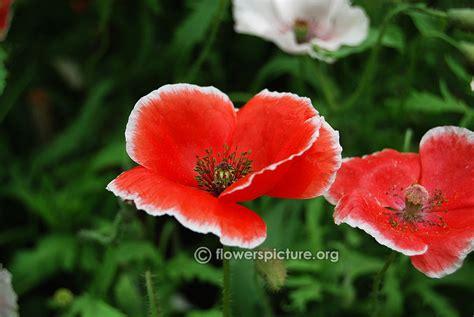 poppy varieties pictures poppy flower varieties