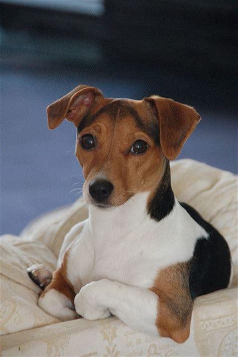 jack russell terriers ideas  pinterest