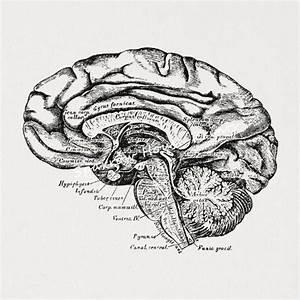 Antique Brain Cross Section Medical Diagram Anatomy