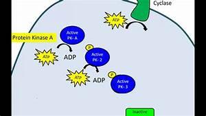 Phosphorylation Cascade  Newer Version
