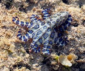 "Blue-Ringed Octopus ""One Of The World's Most Venomous ..."