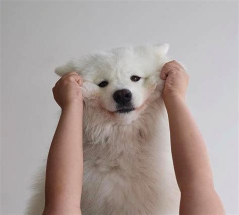 Cute Photos Of Samoyed Puppies Popsugar Pets