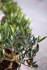 Rosen Im Topf Pflege : olivenb umchen pflege schneiden und berwintern ~ Lizthompson.info Haus und Dekorationen