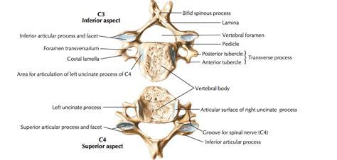 Cervical Vertebrae Diagram Labeled by Typical Cervical Vertebrae And C7 The Of Medicine