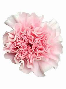 Blumen Günstig Verschicken : 10 edelnelken in rosa bezahlbare blumen g nstig online verschicken bezahlbare ~ Frokenaadalensverden.com Haus und Dekorationen