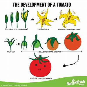 Stages Tomato Plant Growth Pictures