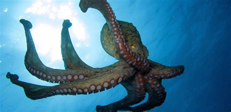 research news japans common octopus   common