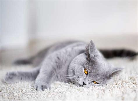 Britisch Kurzhaar Katze Im Rasseportrait
