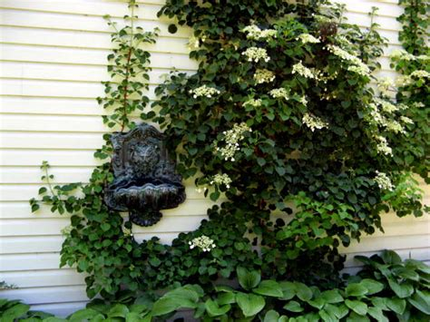 Info On Climbing Hydrangeas Growing Climbing Hydrangeas