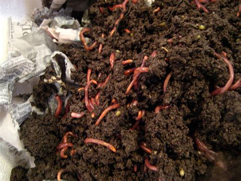 Benefits of Vermicomposting   The Green Home