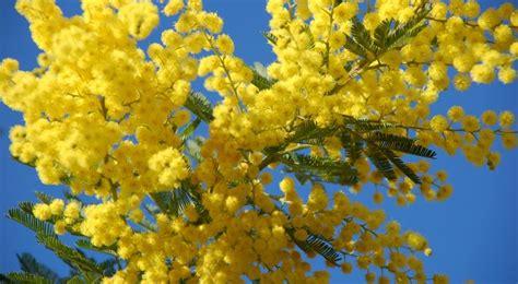 mimosa semis entretien culture et arrosage