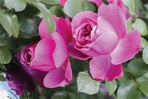Hohe Pflanzkübel Für Rosen : rosen pflanzen tipps und tricks ~ Whattoseeinmadrid.com Haus und Dekorationen