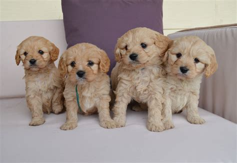 Dogs That Shed Little Hair by Cavoodles Chevromist Kennels Puppies Australia