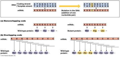template vs coding strand biol2060 gene expression transcription