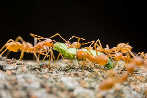 Rote Ameisen Im Garten » Fluch Oder Segen?