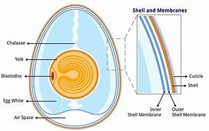 File Anatomy Of An Egg Labeled Jpg