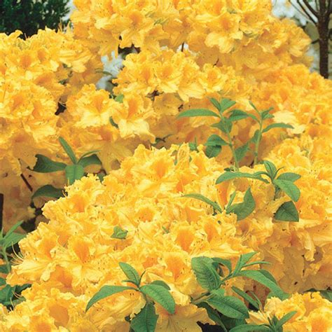 spring hill nurseries   pot golden lights azalea