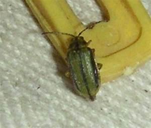Insecte De Maison : xanthogaleruca luteola aide identification insecte dans ~ Melissatoandfro.com Idées de Décoration