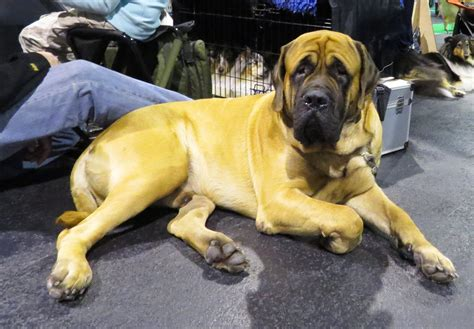 25 Most Adorable Full Grown English Mastiff Dog Pictures