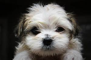 Maltese-Shihtzu puppy after first bath | Flickr - Photo ...