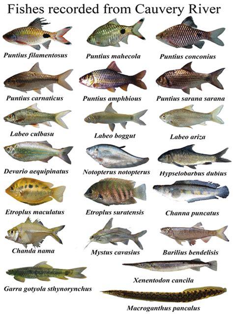 fish diversity  cauvery river