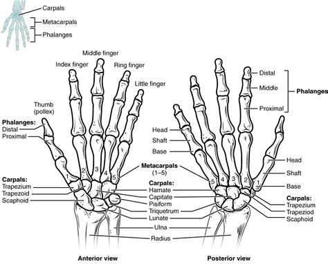 handgelenk name das handgelenk anatomie der oberen extremit 228 t