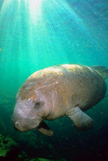 manatee west indian facts trichechus manatus caribbean florida