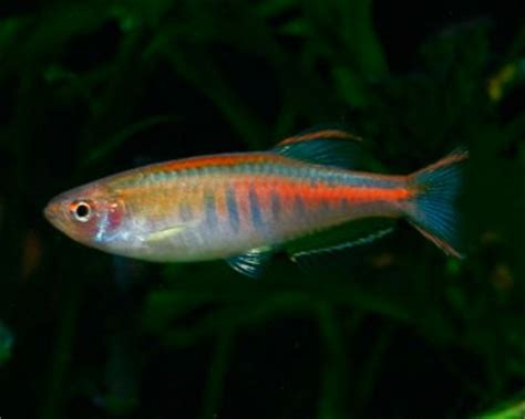info glowlight danio aquarium hobbyist resource