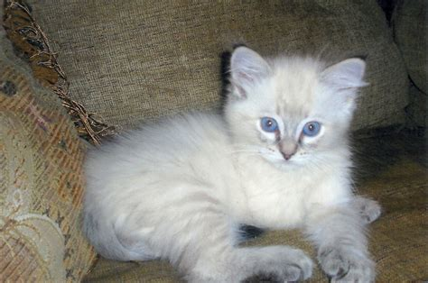 are ragdoll cats good with dogs