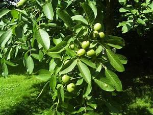 Walnussbaum Selber Pflanzen : der walnussbaum sommer 2008 foto bild pflanzen pilze ~ Michelbontemps.com Haus und Dekorationen