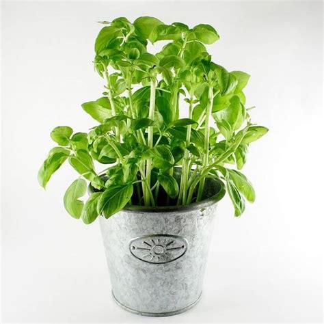 basilico in vaso come coltivare il basilico coltivare orto come