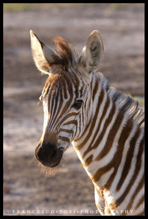 zebra baby related zebras horses francesco tosi