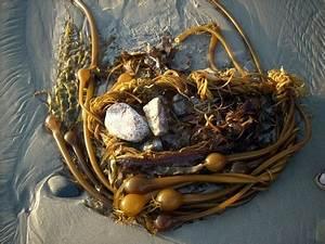 Bull Kelp  U2022 Nereocystis Luetkeana
