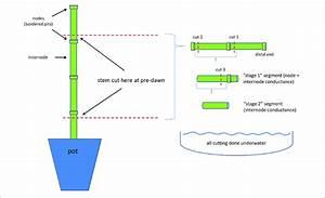 Cutting Diagram For Preparing Stem Segments For