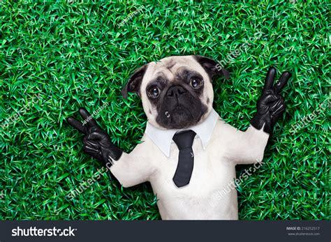 Pug Dog Tuxedo Suit Tie Resting Stock Photo 216252517