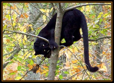 black panther  photo  ile de france north trekearth