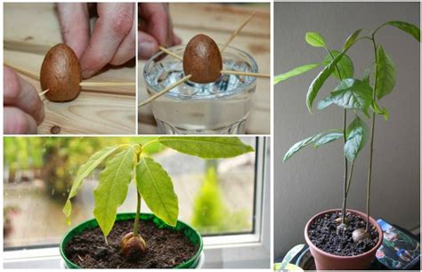 seedling crafts how to grow avocado tree from seed