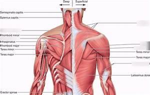 Scapula Anatomy Quiz