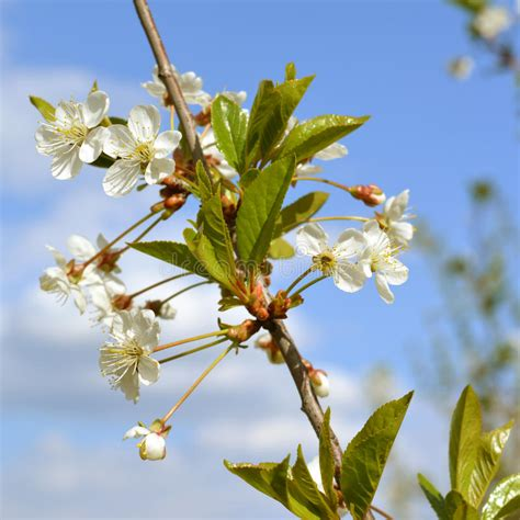 Blooming Cherry Tree Branch With Tender White Flowers