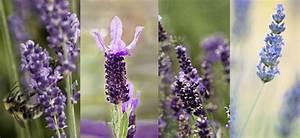 Lavendel Sorten übersicht : lavendelarten in der heilkunde dr schweikart ~ Eleganceandgraceweddings.com Haus und Dekorationen