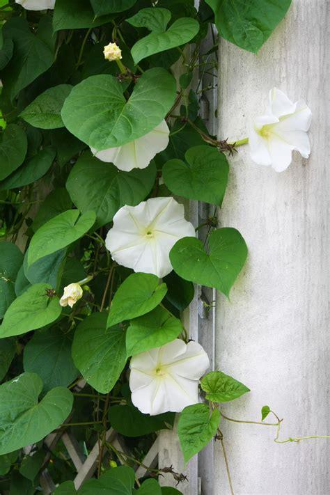 moonflower plant 66 square feet plus a narrow view of things