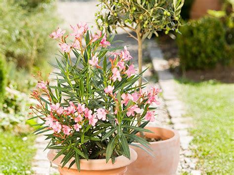 oleander ähnliche pflanzen oleander pflanzencenter keller