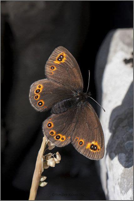 images  butterflies  pinterest monarch