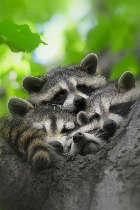 raccoon family napping  tree luvbat