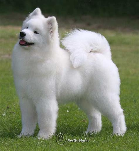 Samoyeds Are Gorgeous Wanted One From The Time I Was Just
