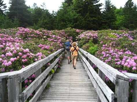 roan mountain rhododendron festival    flower