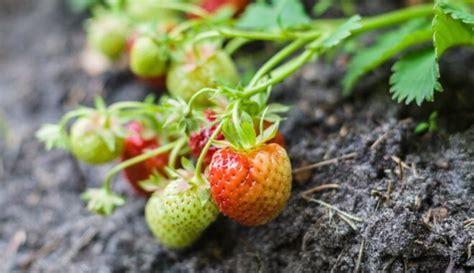 Saldas un sulīgas - ieteicamās zemeņu šķirnes audzēšanai ...