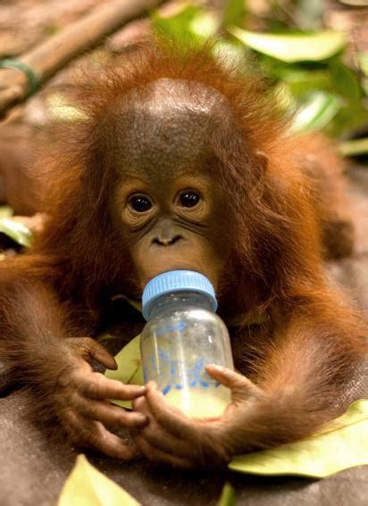 milch fuer  utan babys borneo orangutan survival