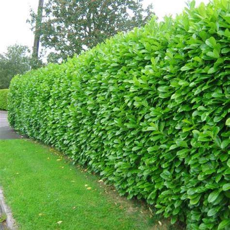 best bushes for hedges which hedge hedging plants explained evergreenhedging com